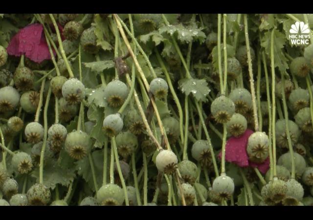 http://www.nbcnews.com/storyline/americas-heroin-epidemic/500-million-opium-poppy-field-discovered-north-carolina-n764801