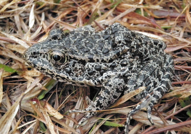 https://commons.wikimedia.org/w/index.php?search=dusky+gopher+frog&title=Special:Search&go=Go&searchToken=66msikzr6vpfjs52eoj8kc2ct#/media/File:Dusky_Gopher_Frog-a.jpg