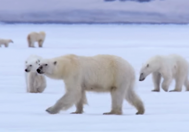 Narrative Fail: Polar Bears Vanish . . . From Media As